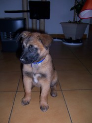 Hilka, chien Berger belge