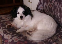 Hillico, chien Spitz allemand