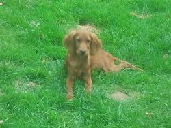Hillo, chien Setter irlandais