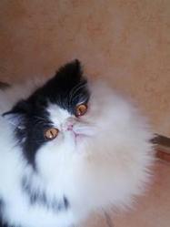 Hilman Lily De Palsamblue, chat