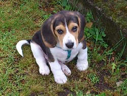 Hilo, chien Beagle