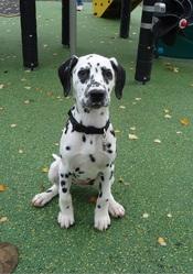 Hilona, chien Dalmatien