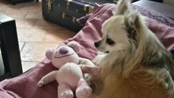 Hilou, chien Chihuahua