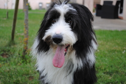 Hilou, chien Bearded Collie