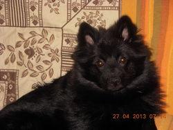 Hilou, chien Spitz allemand