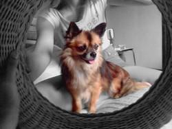 Hilton, chien Chihuahua