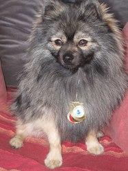 Hilton, chien Spitz allemand