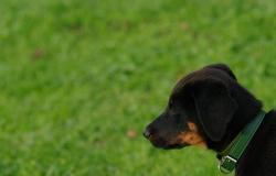 Himan, chien Beauceron