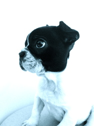 Himaya, chien Bouledogue français