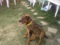 Himé, chien Beauceron