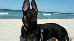 Himé, chien Berger belge