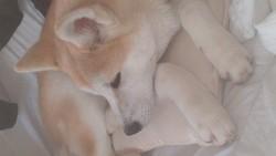 Hina, chien Akita Inu