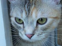 Hina, chat Européen