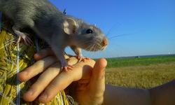 Hina, rongeur Rat