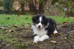 Hina, chien Berger australien