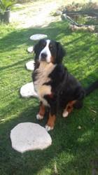 Hina, chien Bouvier bernois