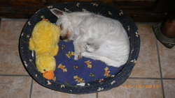 Hina, chien West Highland White Terrier