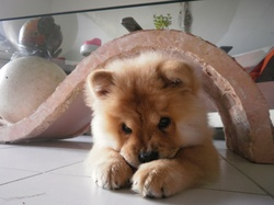 Hina, chien Chow-Chow