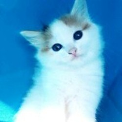 Hina, chaton Européen