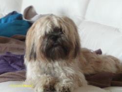 Hina, chien Lhassa Apso