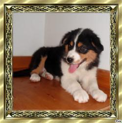 Hinako, chien Berger australien