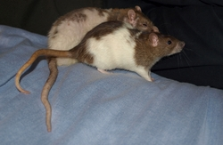 Hinata Rip, rongeur Rat