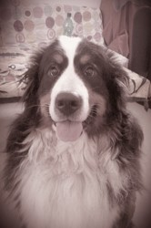 Hinaya, chien Bouvier bernois