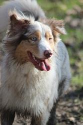 Hinaya, chien Berger australien