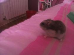 Hindeea, rongeur Hamster