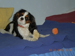 Hindi, chien Cavalier King Charles Spaniel