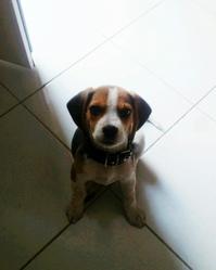 Hindi, chien Beagle