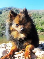 Hindi, chien Spitz allemand
