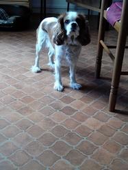 Hindi, chien Cavalier King Charles Spaniel