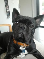 Hindy, chien Bouledogue français