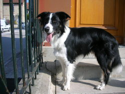 Hindy, chien Border Collie