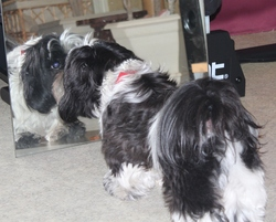 Hindy, chien Shih Tzu