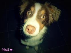 Hindy, chien Berger australien