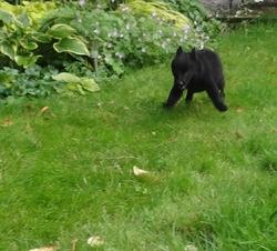 Hindy, chien Schipperke