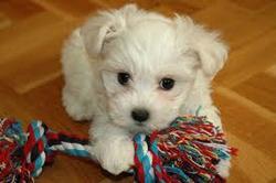 Hindy, chien Bichon maltais