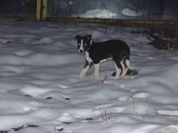 Hinèou, chien Border Collie