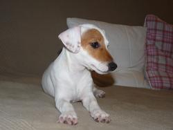 Hinès , chien Jack Russell Terrier