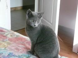 Hinés, chat Bleu russe