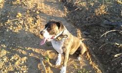 Hinka, chien Dogo canario