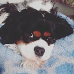 Hinna, chien Cavalier King Charles Spaniel