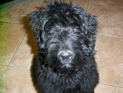 Hioda, chien Bouvier des Flandres
