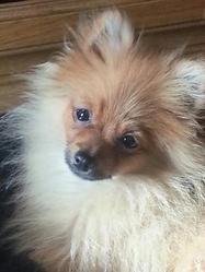 Hiouky, chien Spitz allemand