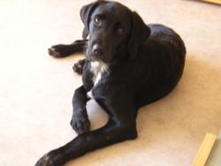 Hiouna, chien Labrador Retriever