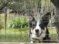 Hiox, chien Berger allemand