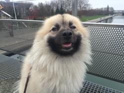 Hipop, chien Spitz japonais