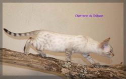 Hippisme Du Chitwan, chat Bengal
